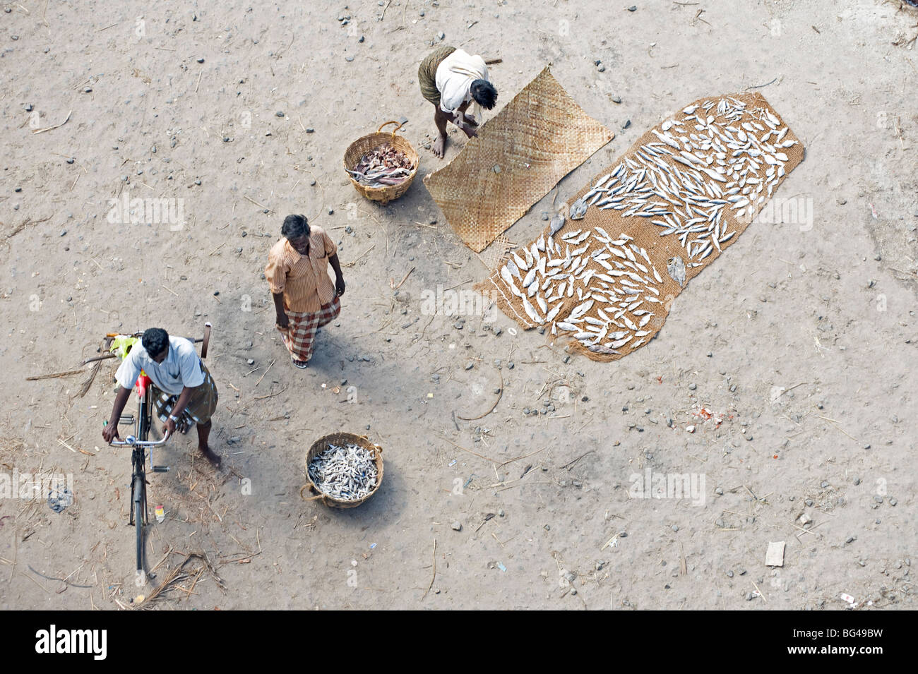 Sorting and drying the morning's catch of fish, Dhanushkodi, Tamil Nadu, India, Asia - Stock Image