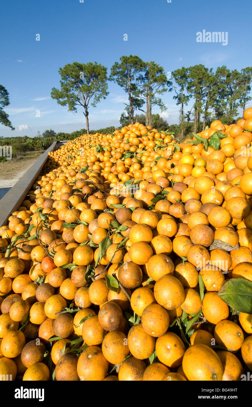 Orange Grove, Immokalee, Florida - Stock Image