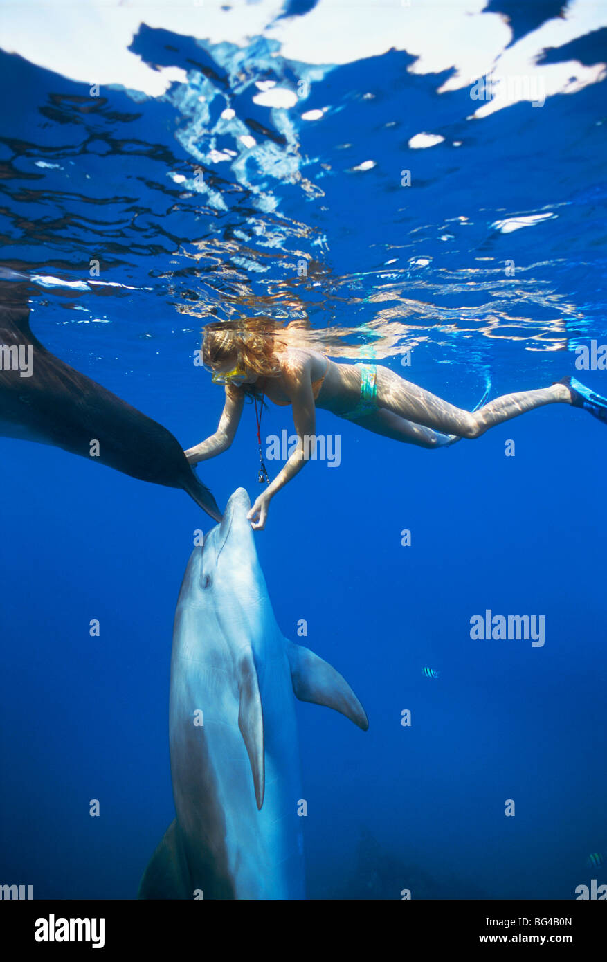 Dolphin trainer scratches Bottlenose Dolphins (Tursiops truncatus) near surface, Dolphin Reef, Eilat, Israel - Red Stock Photo