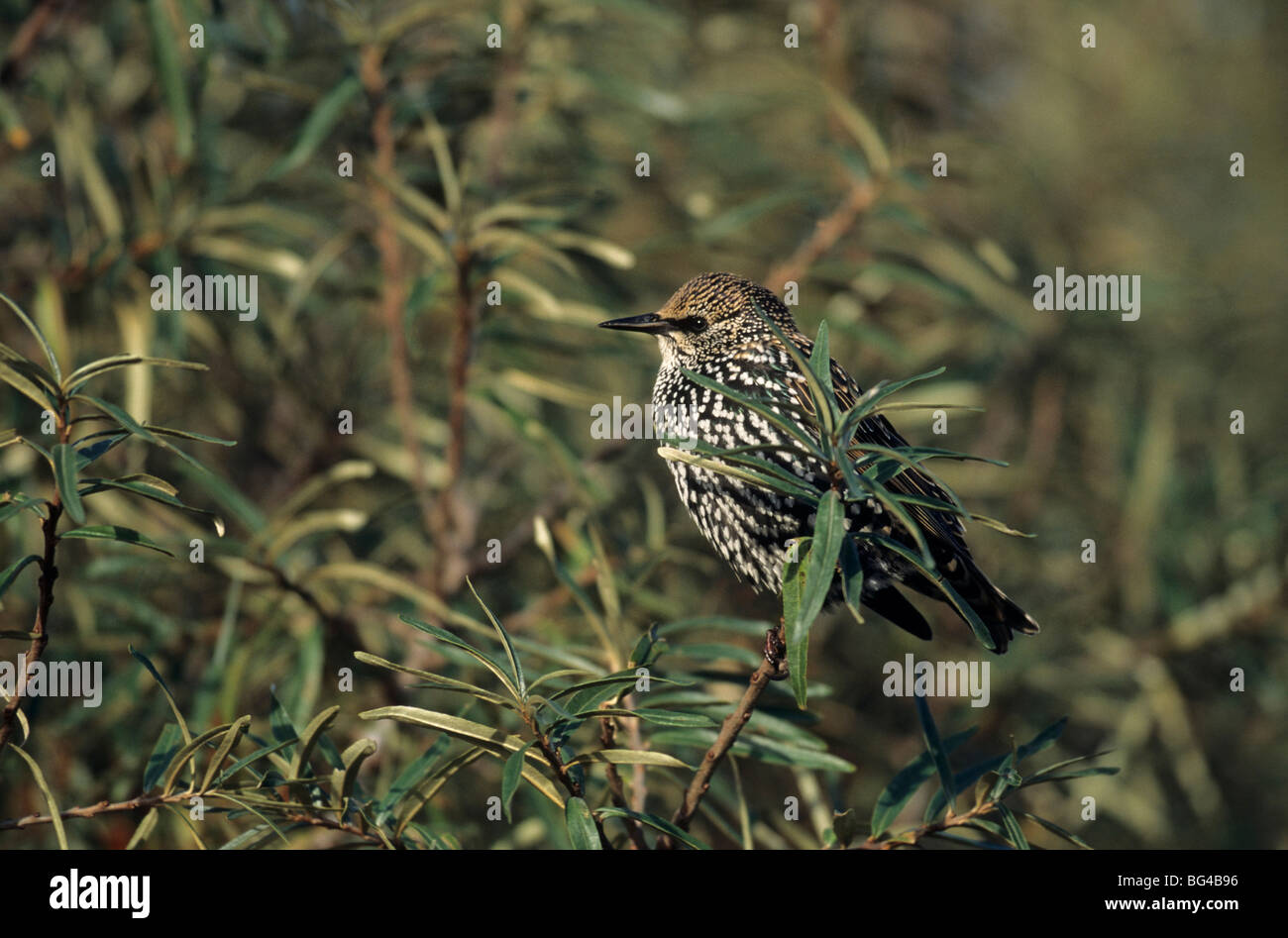 starling and sea buckthorn , sturnus vulgaris & hippophae rhamnoides Stock Photo