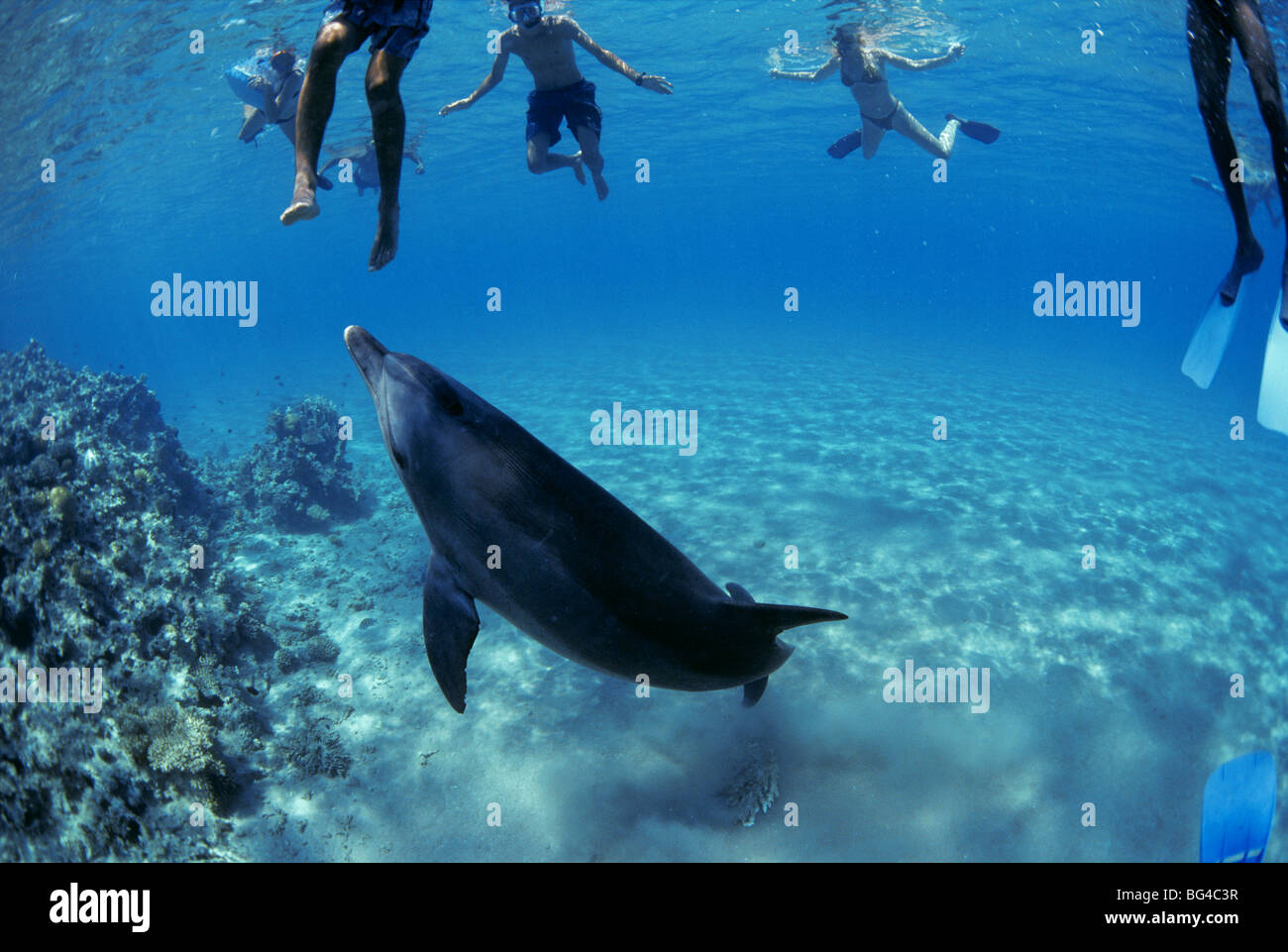 Swimming with wild Bottlenose Dolphin (Tursiops truncatus), Nuweiba, Egypt - Red Sea. - Stock Image
