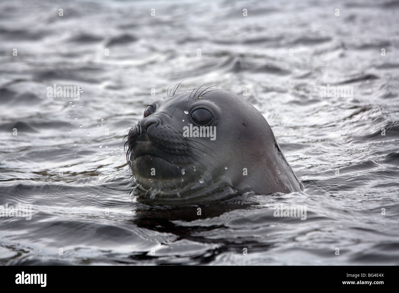 Southern Elephant Seal pup Mirounga leonina, Campbell Island, New Zealand sub Antarctic Islands. Stock Photo