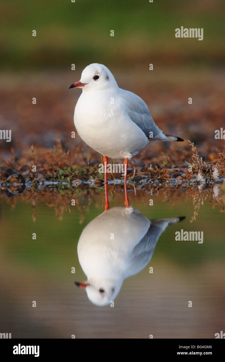 Black-headed gull, Larus ridibundus, in water, Norfolk, UK, November 2009 Stock Photo