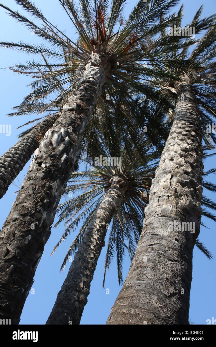 tall palms piazza Palau Sardinia Italy - Stock Image
