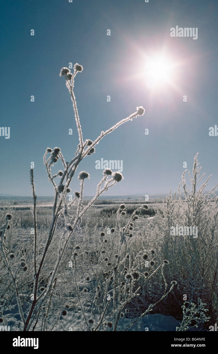 Frosted sunflower stalks - Stock Image