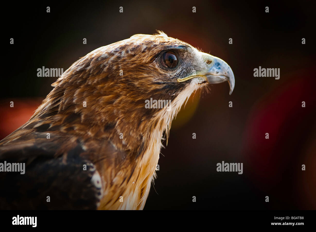 Hunting falcon - Stock Image