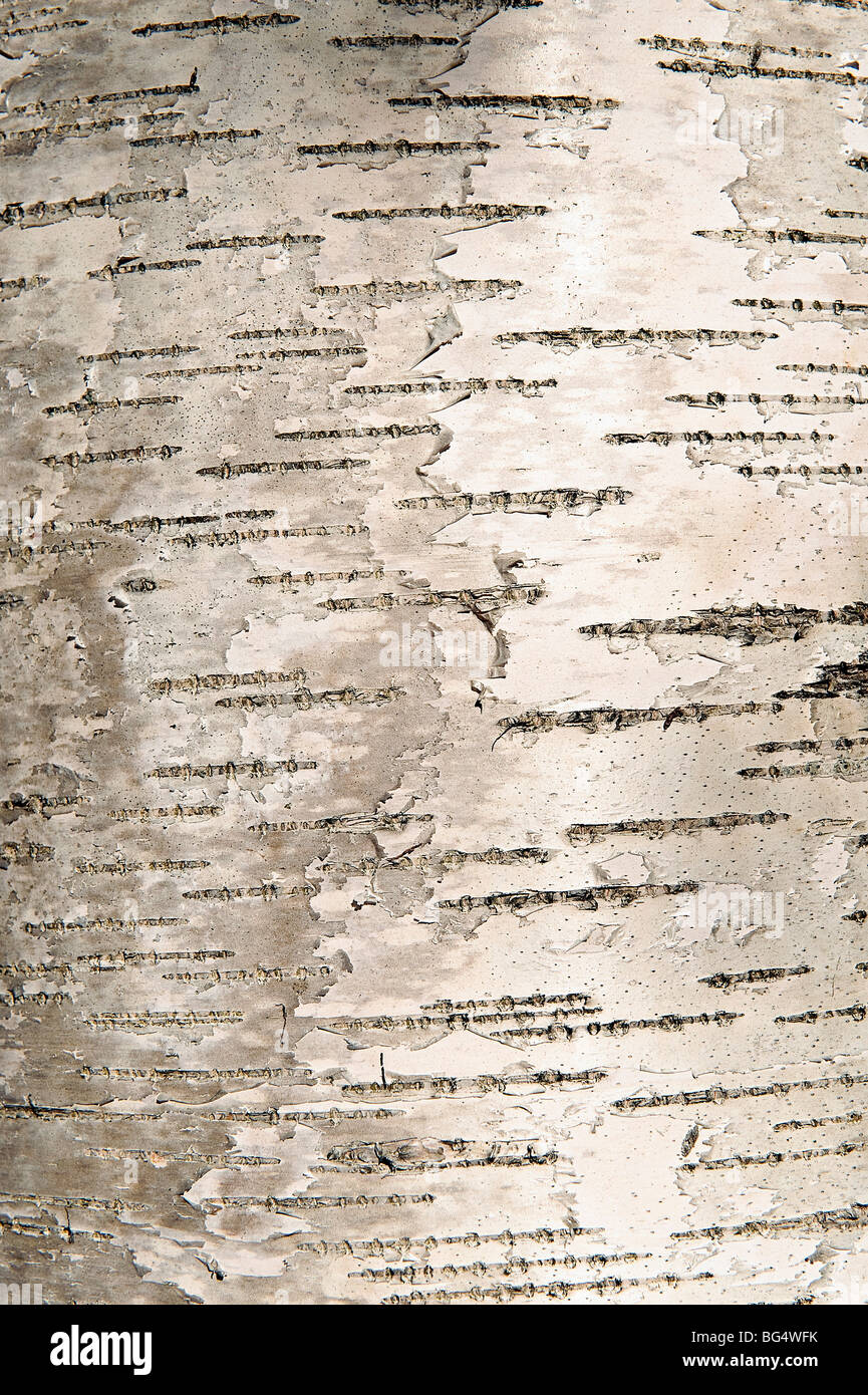 Bark detail of birch tree. - Stock Image