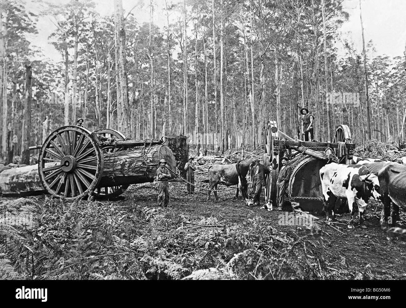 Timber workers and bullocks dragging felled Kari trees in Western Australia, c. 1910 Stock Photo