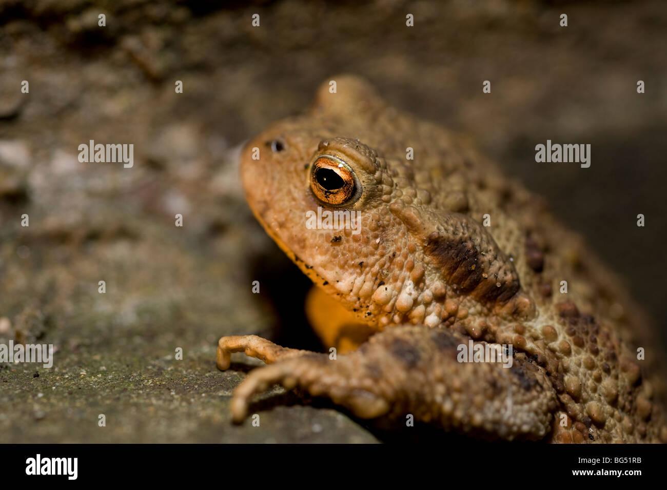 Common European toad Bufo Bufo Stock Photo