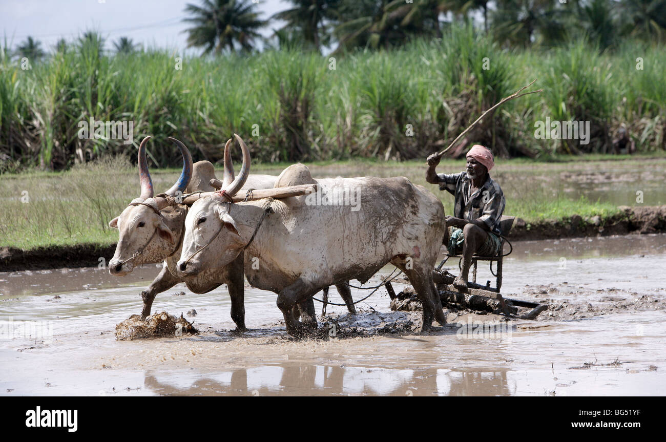 Farmer ploughing a rice field using traditional oxen pulled plough, India - Stock Image