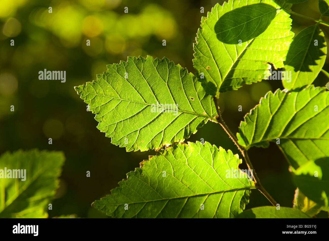 Backlit green leaves - Stock Image