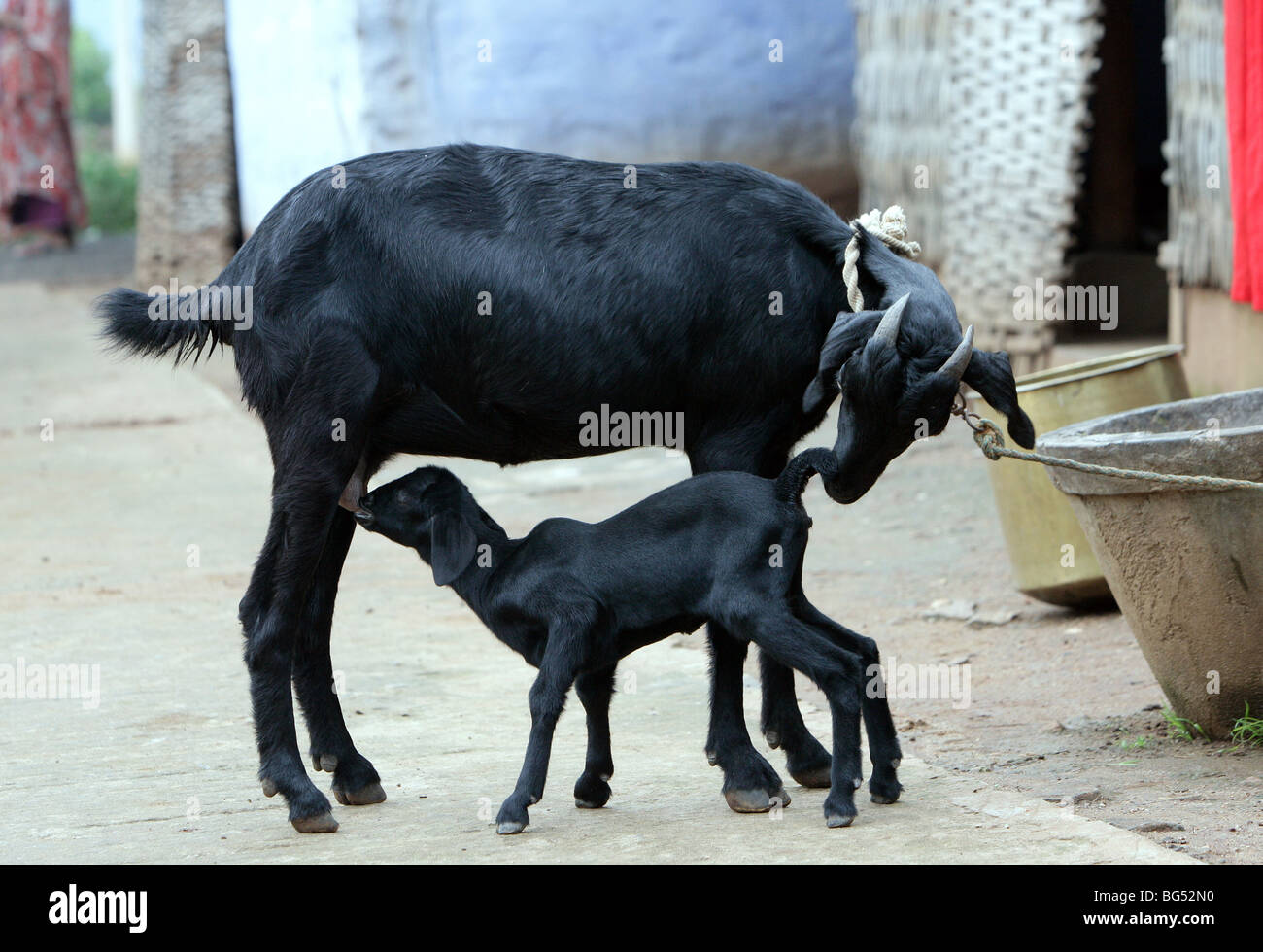 Black nanny goat feeds her young kid - Stock Image
