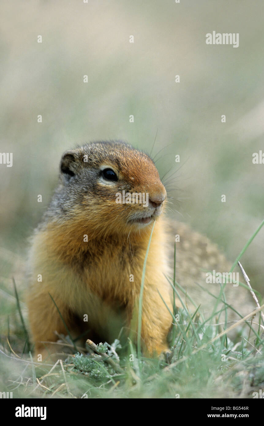 columbian ground squirrel, spermophilus columbianus Stock Photo