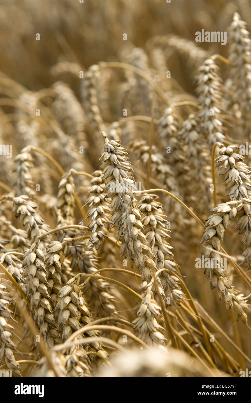 Summer wheat field - Stock Image