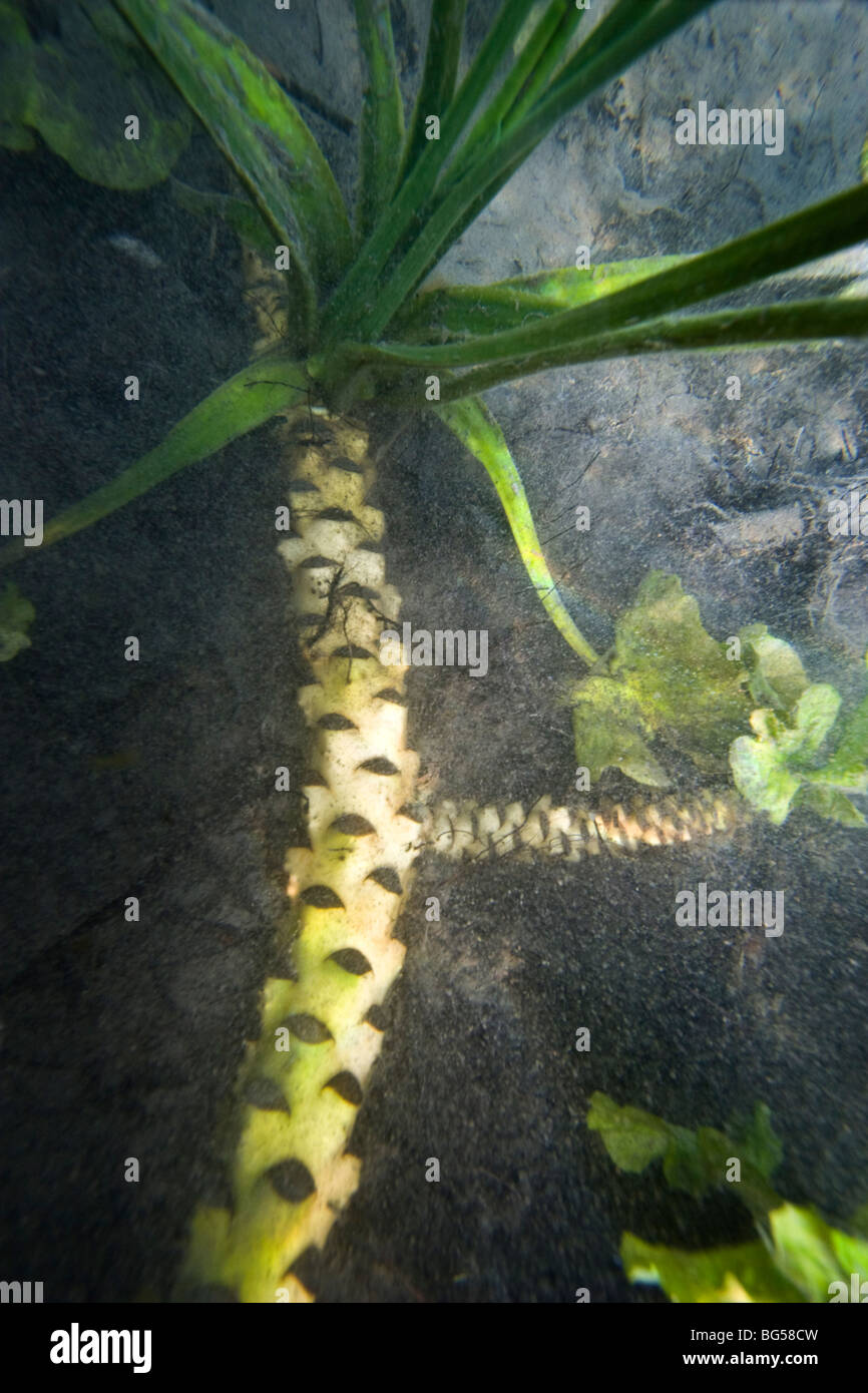 The rhizome of a yellow water lily (Nuphar lutea), in a Jura lake (France). Rhizome de nénuphar jaune dans - Stock Image