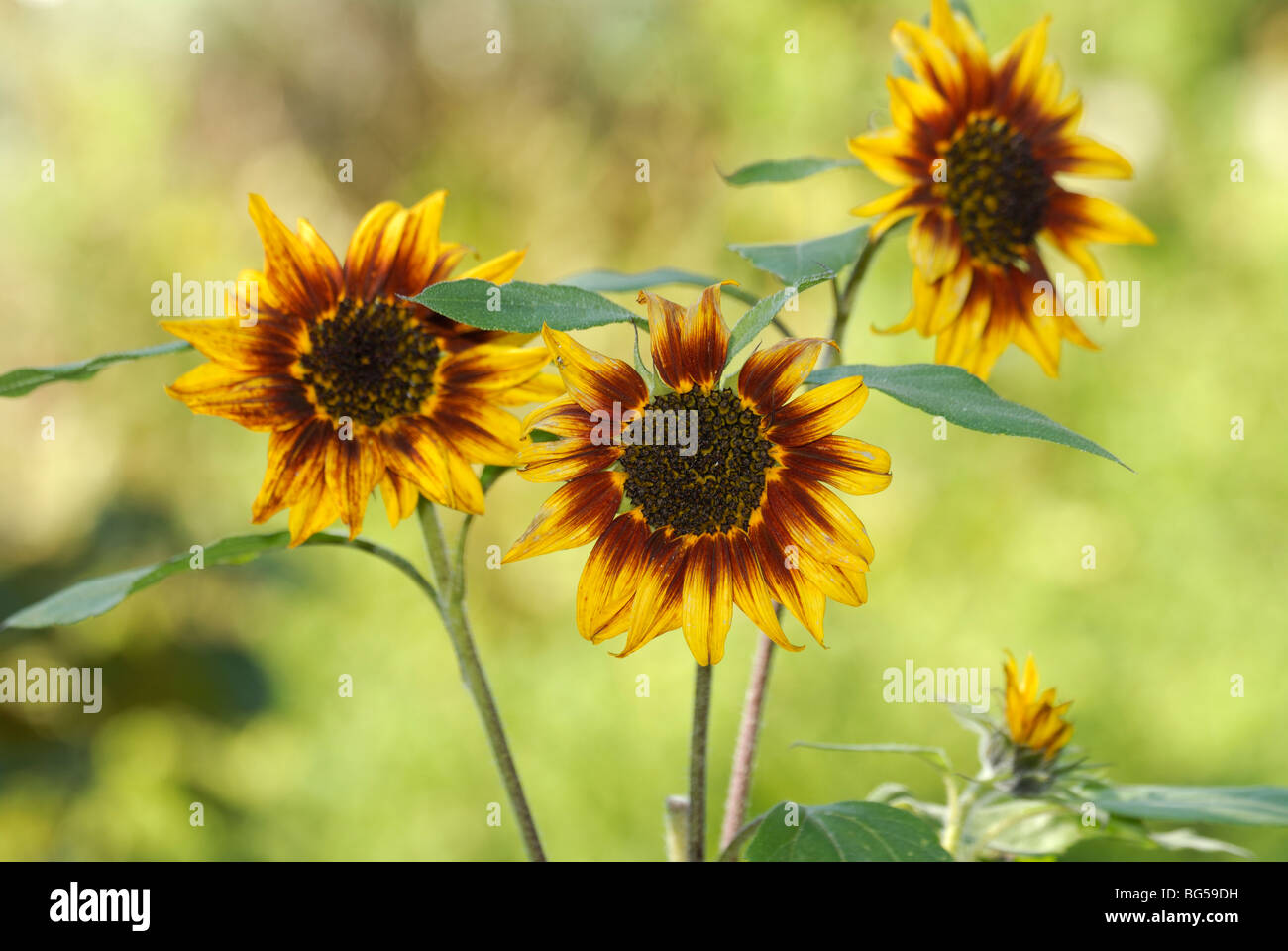 Helianthus annuus 'Ring of Fire' - Stock Image