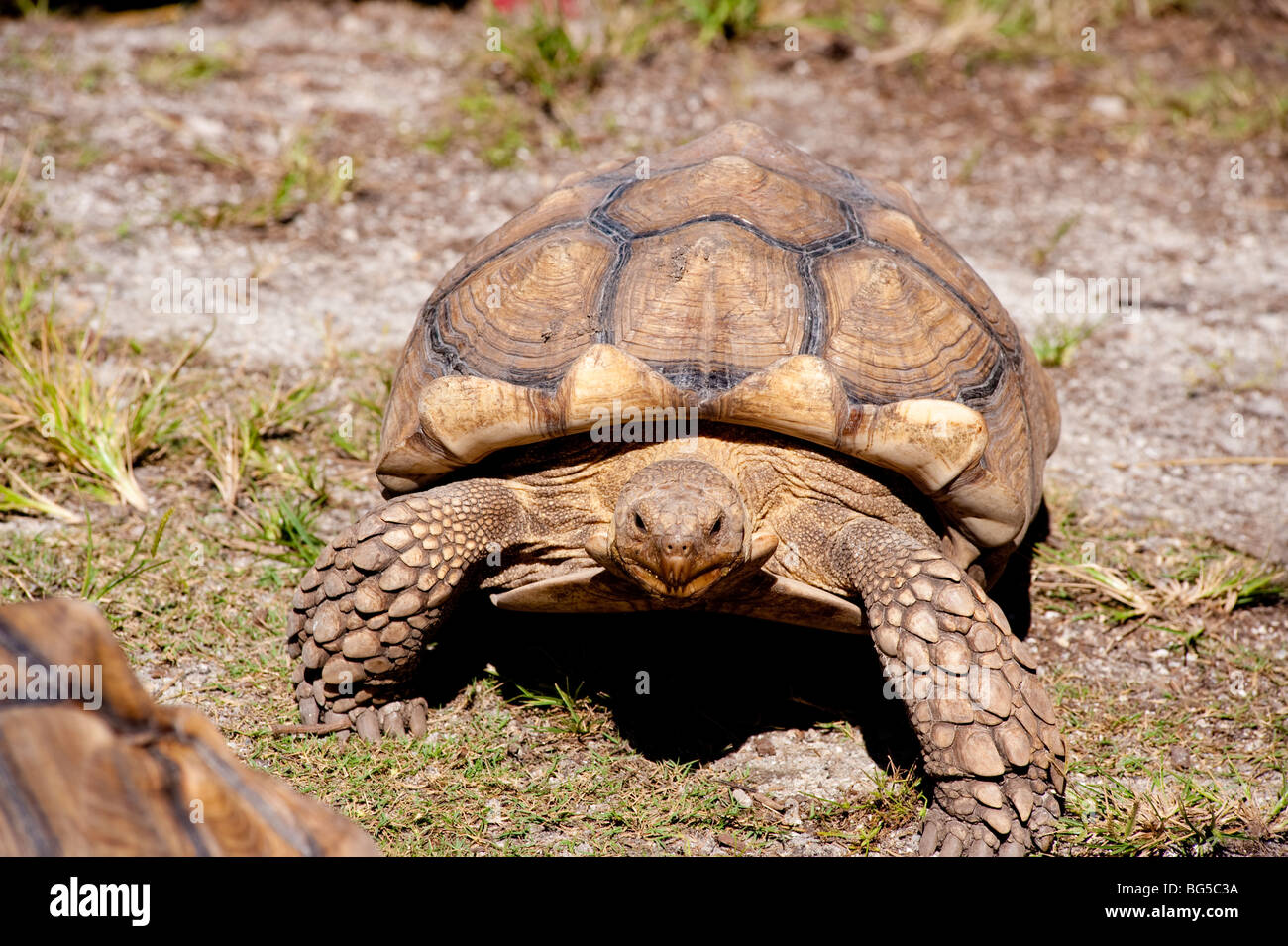 Large Tortoise walking in grassy area Stock Photo
