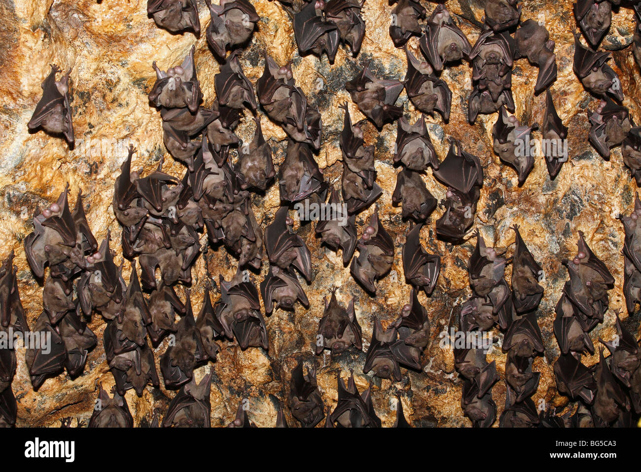 Colony of Geoffroy's Rousette, or Common Rousette Bats, Rousettus amplexicaudatus, roosting in  cave at Pura - Stock Image