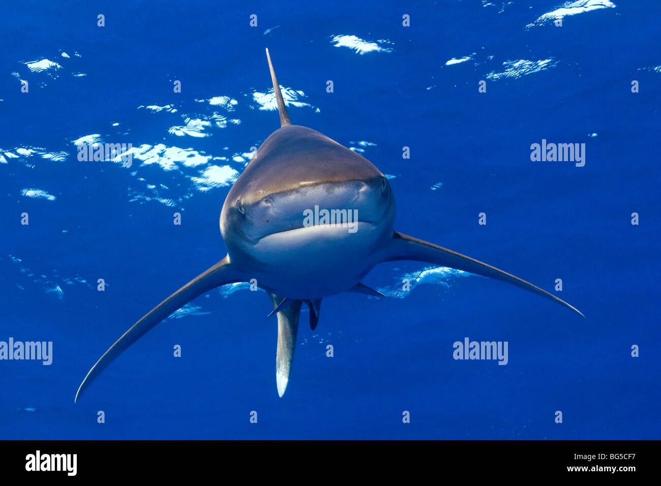 Oceanic white tip shark in the Red Sea underwater, fins, blue water, shark, predator, hunting, stunning, Egypt, - Stock Image