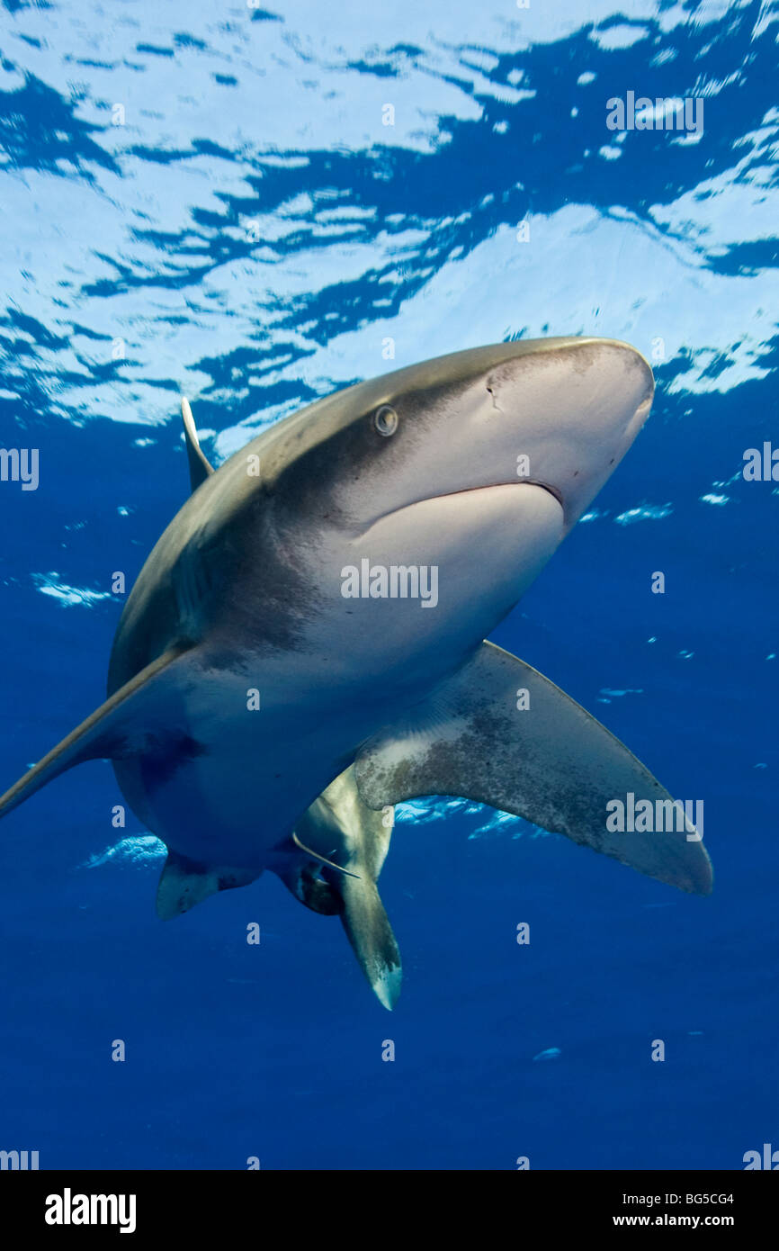 Oceanic white tip shark in the Red Sea, Egypt, underwater, blue water, clear water, predator, hunting, stunning, - Stock Image