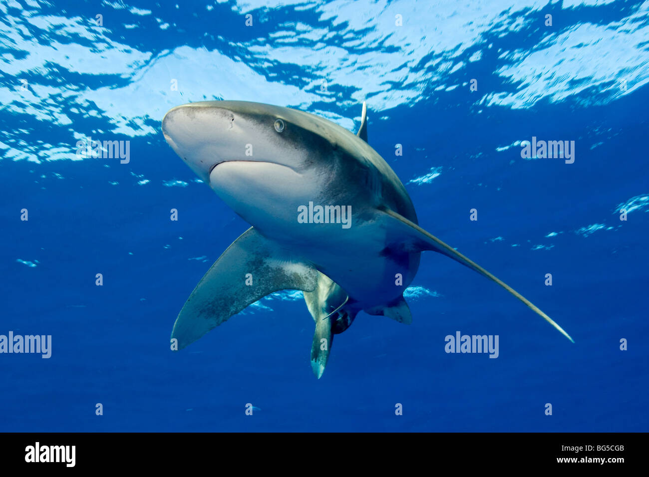 Oceanic white tip shark in the Red Sea, blue water, underwater, Egypt, predator, fins, hunting, shallow water, stunning, - Stock Image