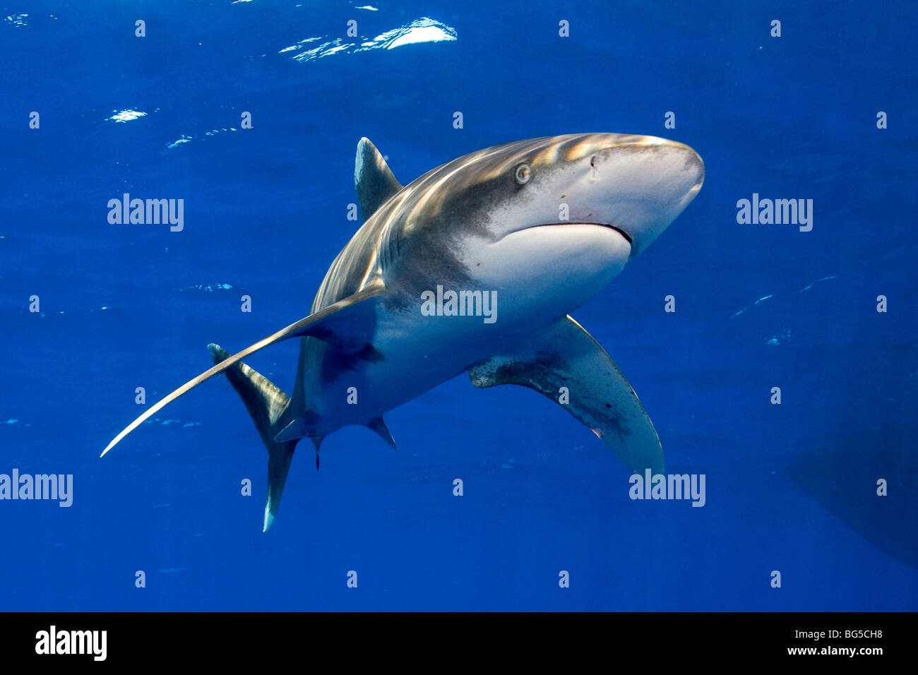 Oceanic white tip shark in the Red Sea, Egypt, predator, hunting, awesome, blue water, fins, underwater, Elphistone, - Stock Image