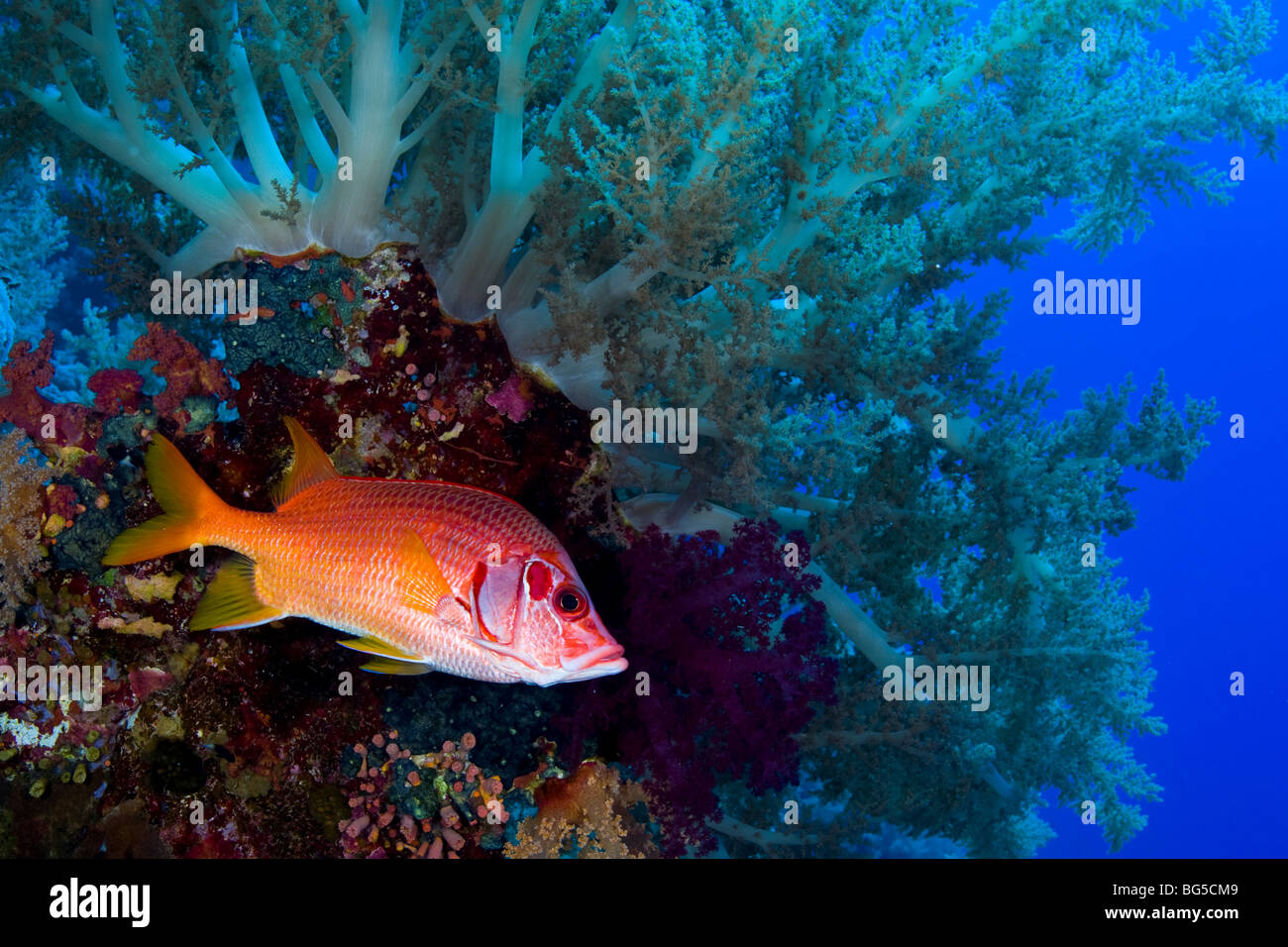 Red Sea coral reefs, Ras Mohammed, National park, colorful, ocean, sea, scuba, diving, marine life, sea life, fish - Stock Image