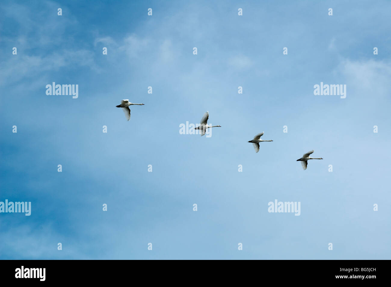 fliegende Schwäne am Himmel, Insel Usedom, Mecklenburg-Vorpommern, Deutschland | flying swans, Isle of Usedom, Mecklenburg Stock Photo