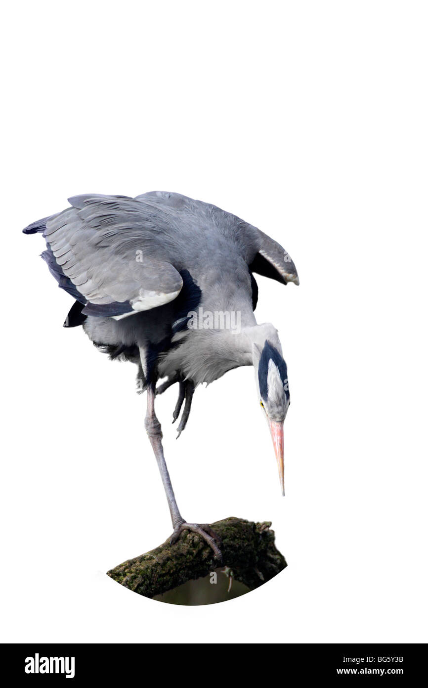 Grey Heron Ardea cinerea fishing Stock Photo