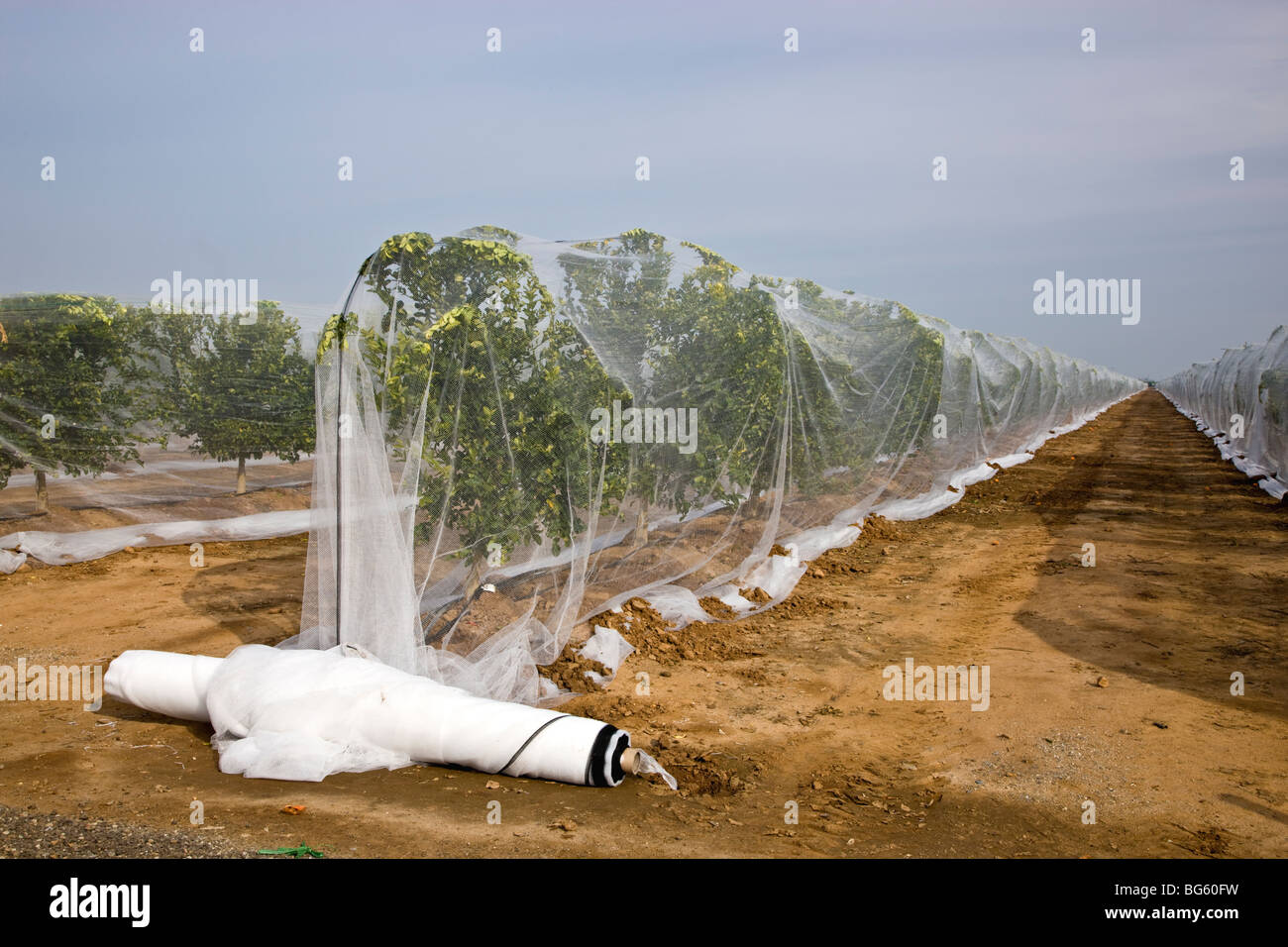Netting over young 'Citrus' Mandarin trees to prevent cross pollination. - Stock Image