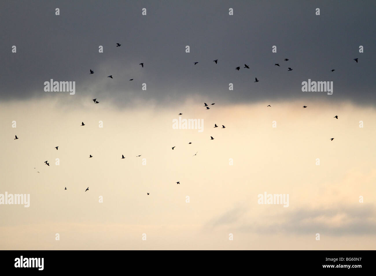 Woodpigeons Columba palumbus flying to roost at dusk - Stock Image