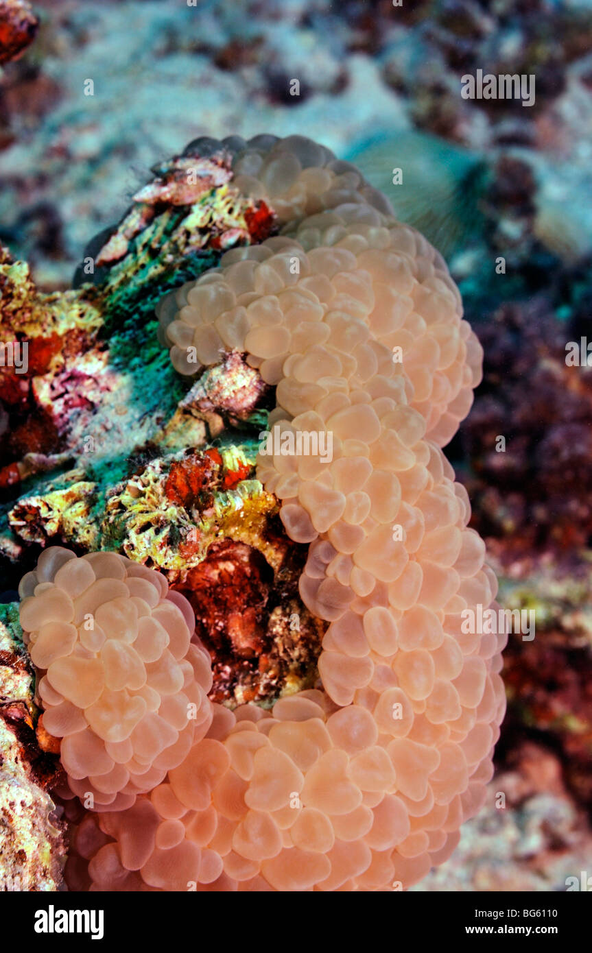 'Bubble coral', Plerogyra sinuosa species, on coral reef - Stock Image