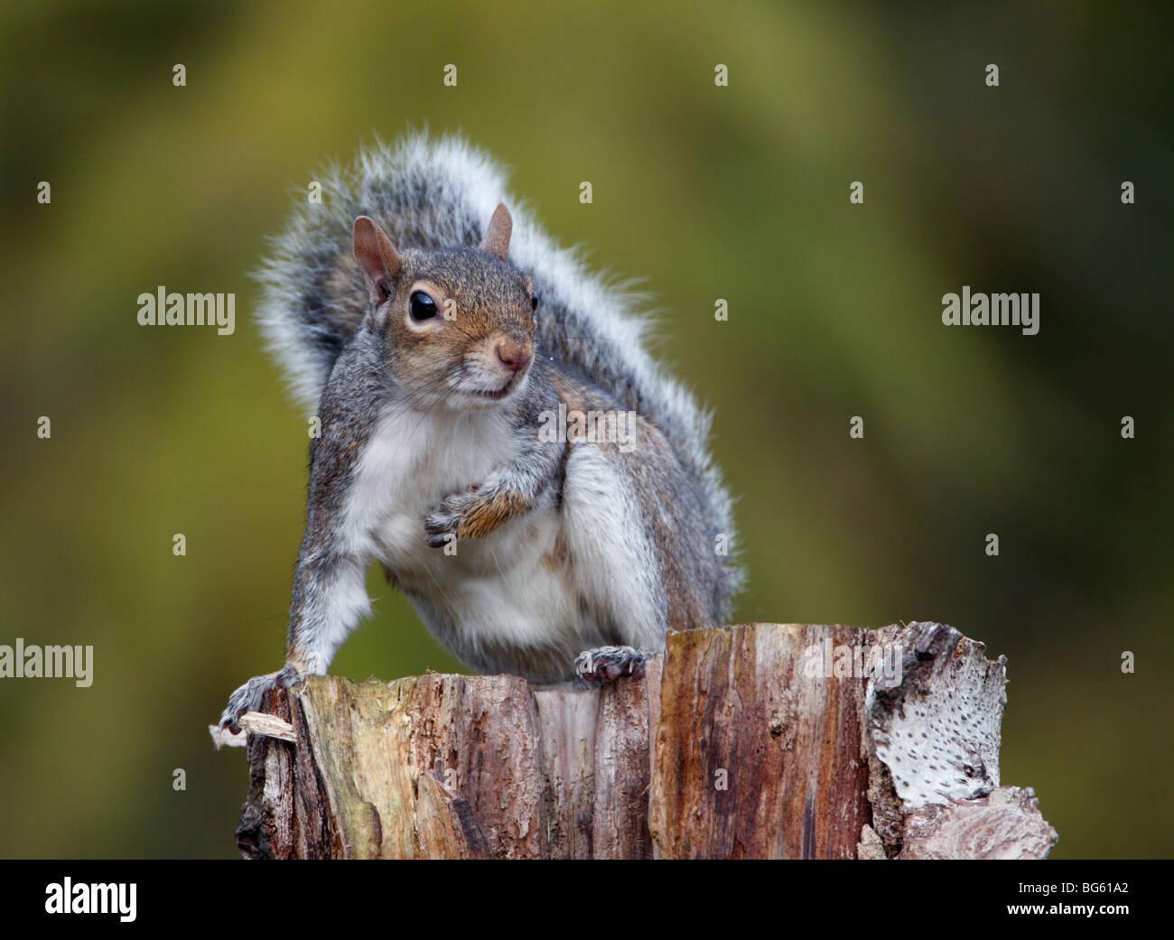 Grey Squirrel Sciurus carolinensis on log - Stock Image
