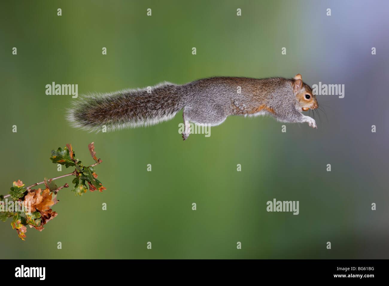 Grey Squirrel Sciurus carolinensis Jumping - Stock Image