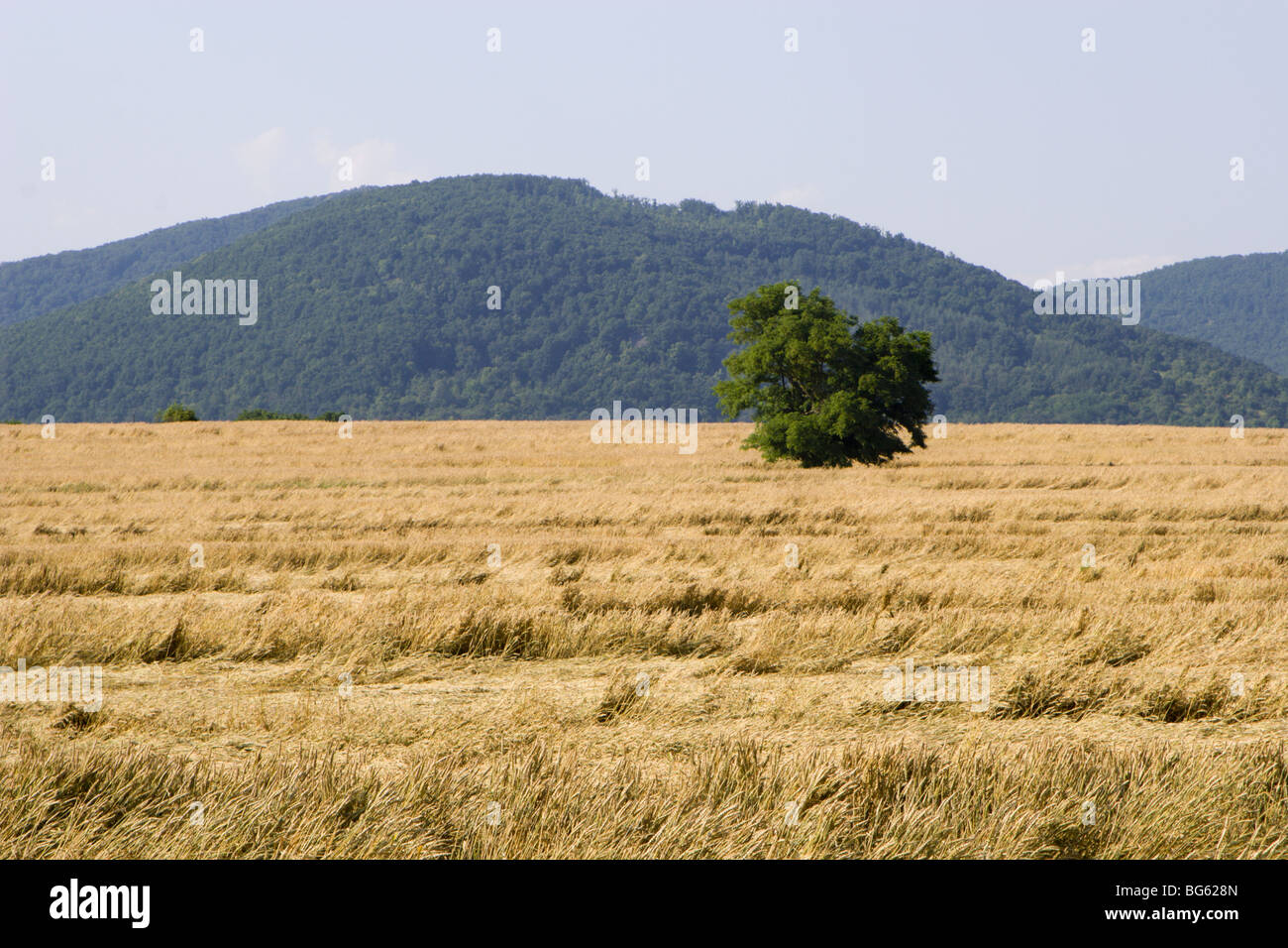 tree in the acre of grain - Stock Image