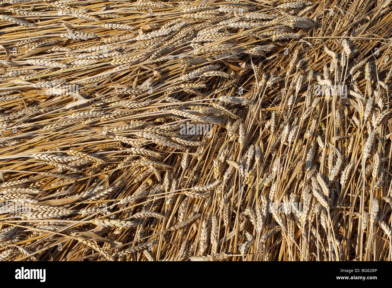 grain after storm - Stock Image