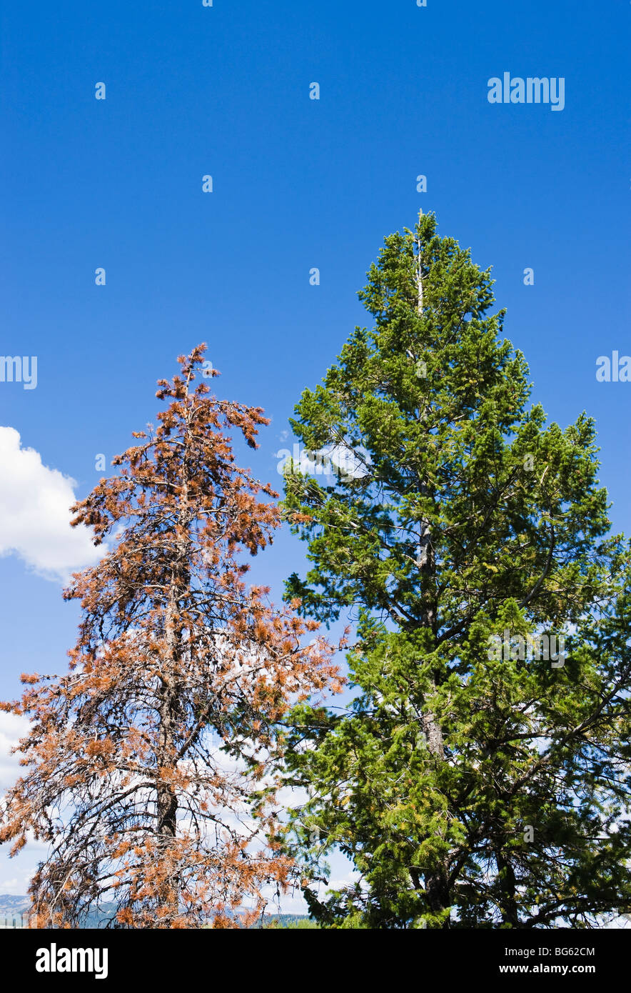 A Lodgepole pine after being infested and killed by the Mountain Pine Beetle next to a live Lodgepole Pine in Grand - Stock Image