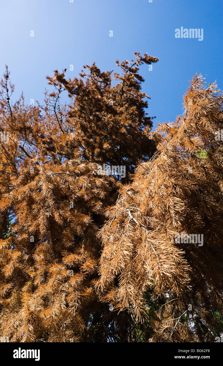Looking up at the reddened dead branches and needles of a Lodgepole pine killed by a Mountain Pine beetle infestation - Stock Image