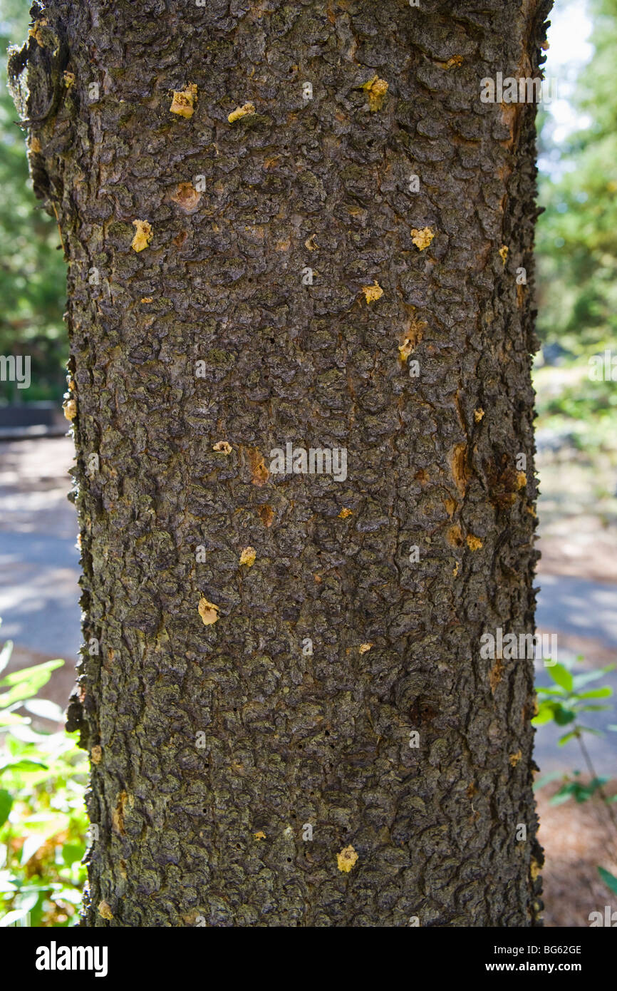 The trunk of a tree infested by Mountain Pine beetles. Grand Tetons National Park, Wyoming, USA. - Stock Image