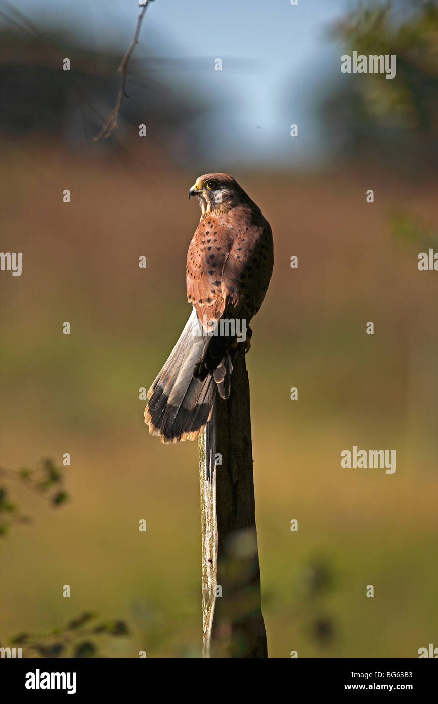 Kestrel (falco tinnunculus) male perching on fencepost back view - Stock Image