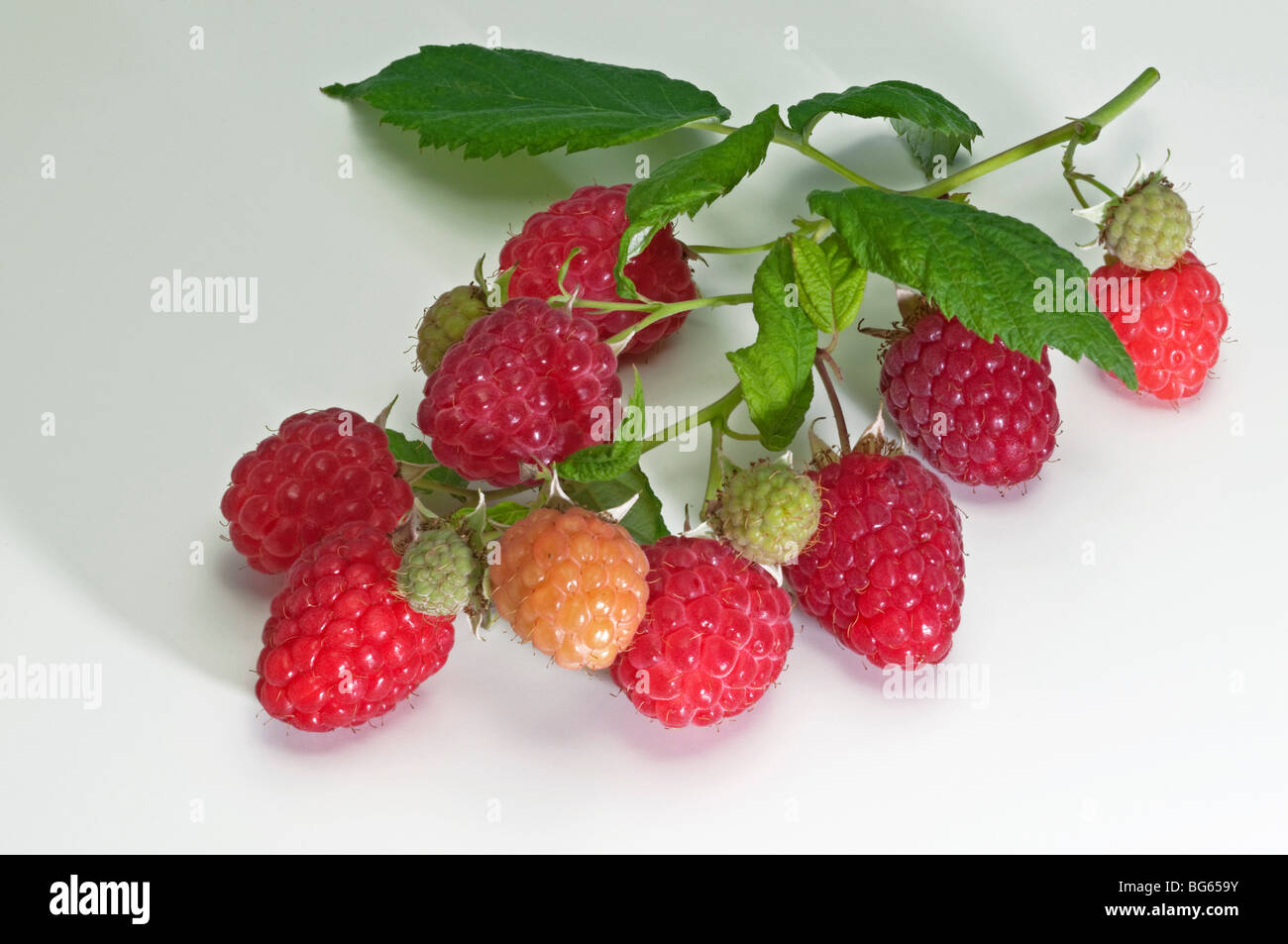 Raspberry (Rubus idaeus). Twig with berries and leaves, studio picture. - Stock Image