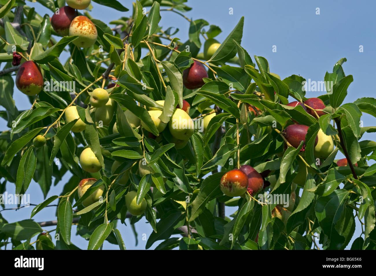 Asian date tree