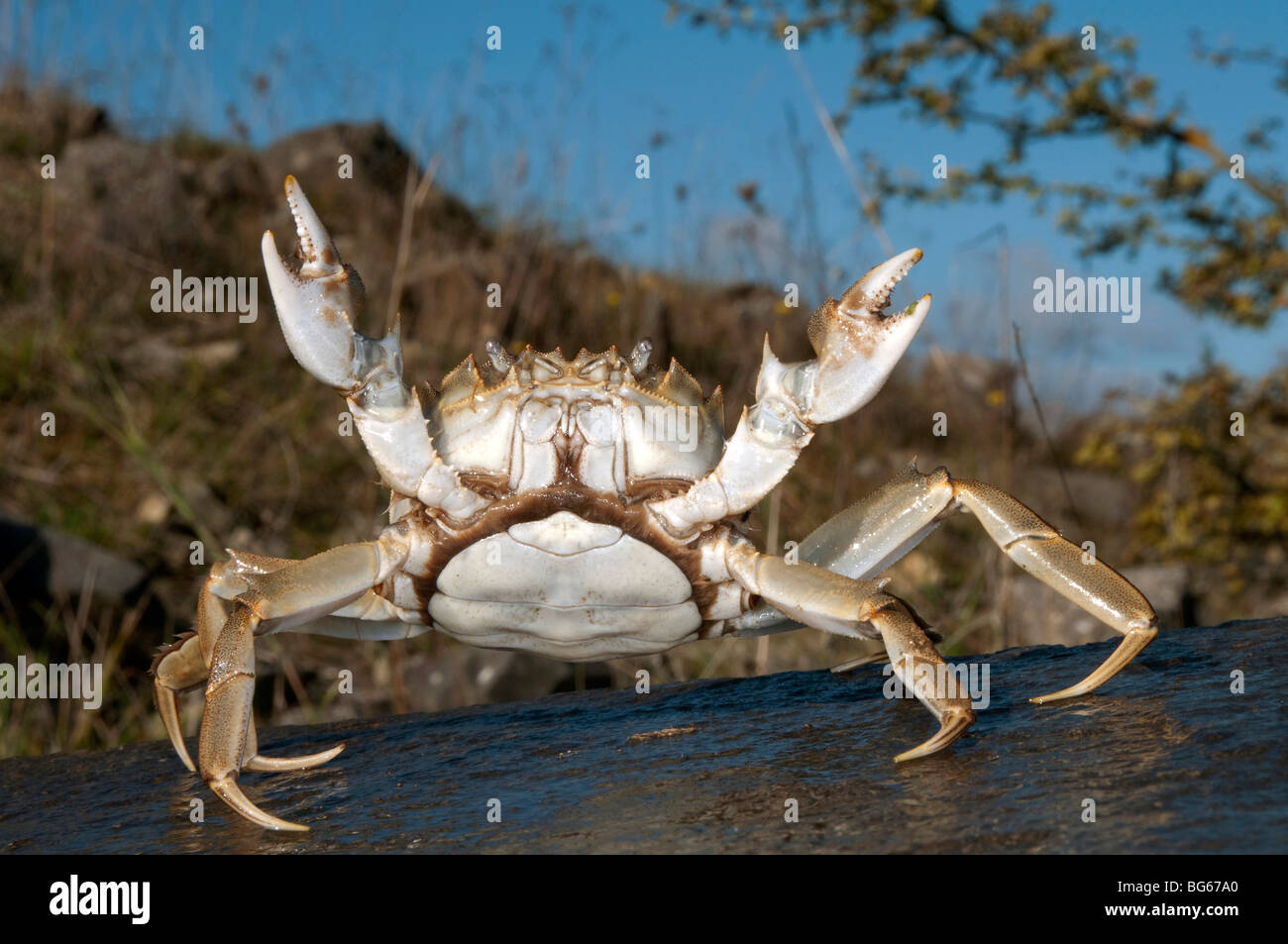 Chinese Mitten Crab (Eriocheir sinensis), female in defensive posture. - Stock Image