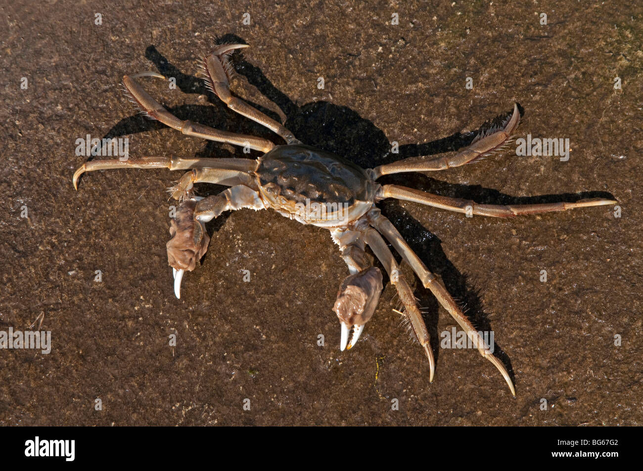 Chinese Mitten Crab (Eriocheir sinensis). Male seen from above. - Stock Image
