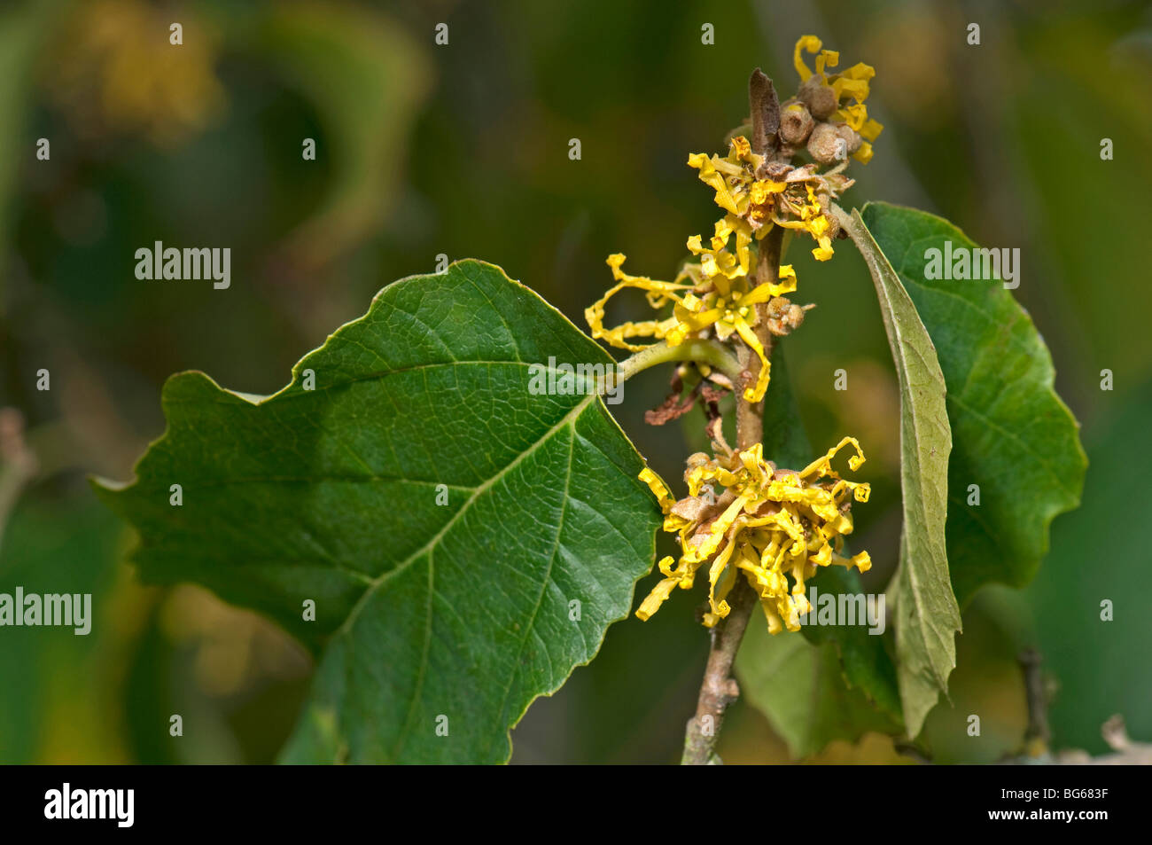 Witch Hazel (Hamamelis virginiana). Twig with green leaf and first Stock Photo ...