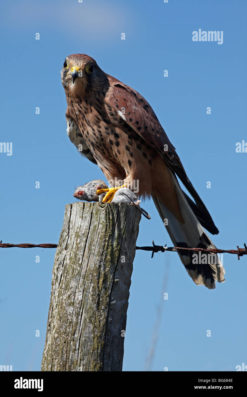 Kestrel (falco tinnunculus) male perching on fencepost with mouse - Stock Image