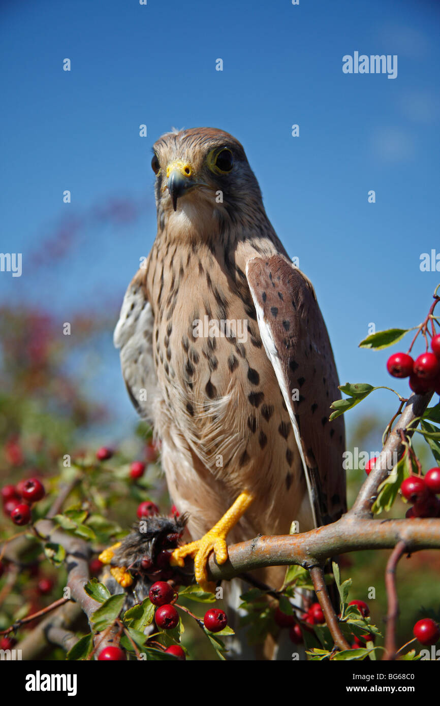 Kestrel (Falco tinnunculus) male perching in hawthorn tree - Stock Image