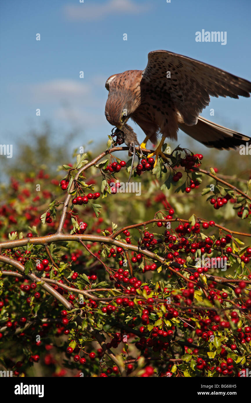 Kestrel (falco tinnunculus) male landing in hawthorn tree with mouse - Stock Image