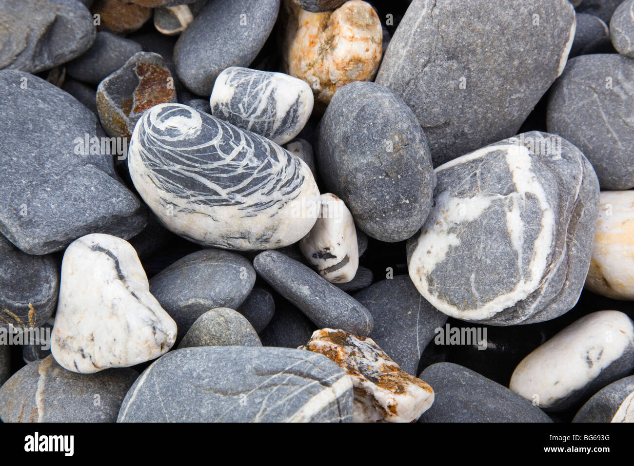Quartz in slates and shales pebbles; on the beach at Strangles; Crackington Haven; Cornwall - Stock Image