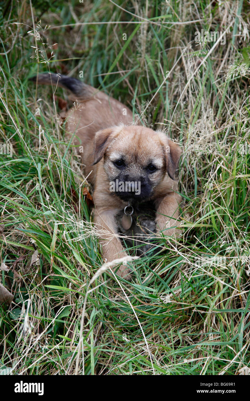 border terrier puppy playing in long grass - Stock Image